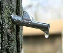 Sap Dripping from a Freshly Tapped Maple Tree